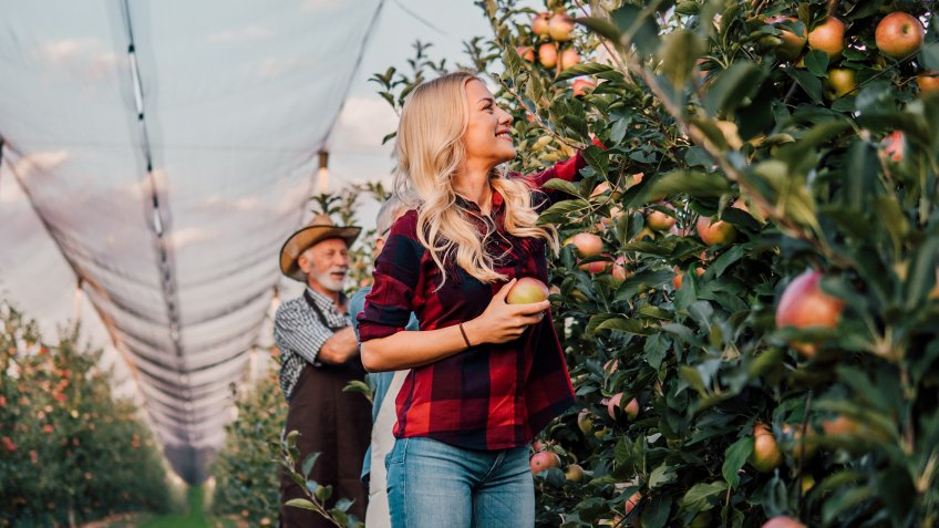 Senior farmer picking up apples with his daughter.
