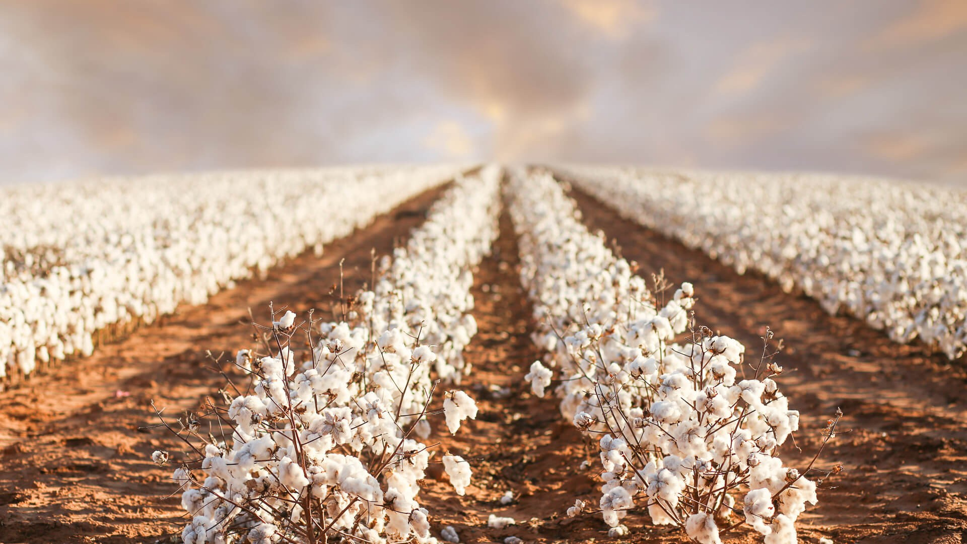 rows of cotton field