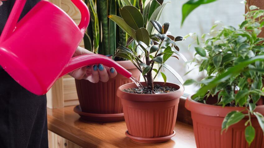 woman water her house plants