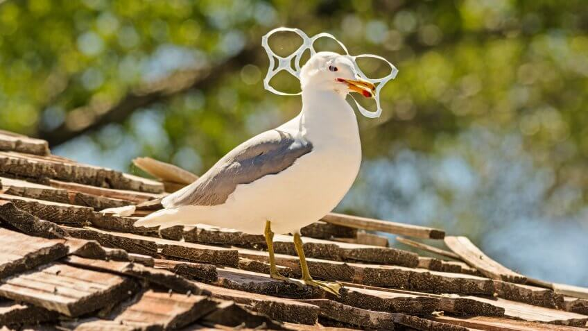 sea gull trapped in plastic six pack holder rings