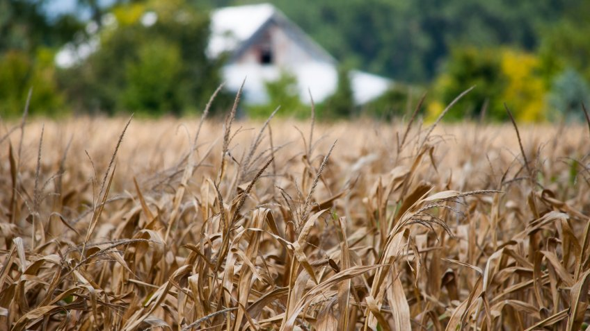 The midwest drought has had a major impact of local farmers and their crops. - Image