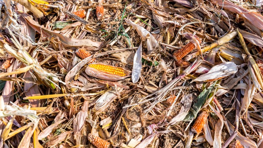 Destroyed corn lying on the corn field