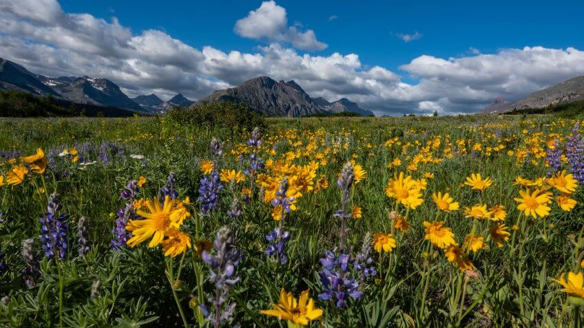 Yellow Daisies in Wildflower Field in Montana Wilderness.