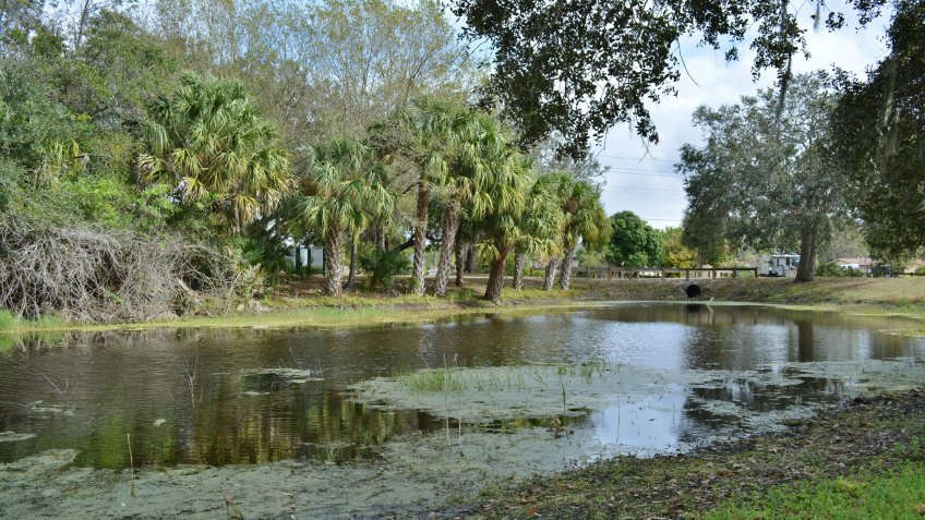 Palm trees and a pond in Port Charlotte, Florida.