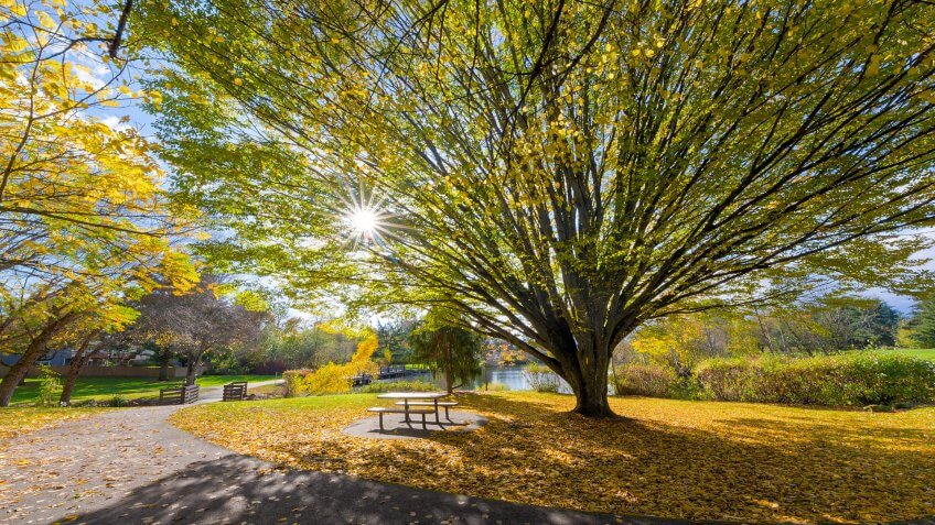 Big old tree at Commonwealth Lake Park in Beaverton Oregon with sun star burst during fall season.