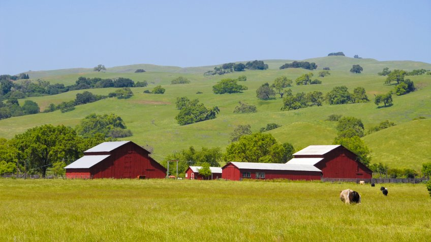 Cows on a farm, Morgan Hill, California - Image.