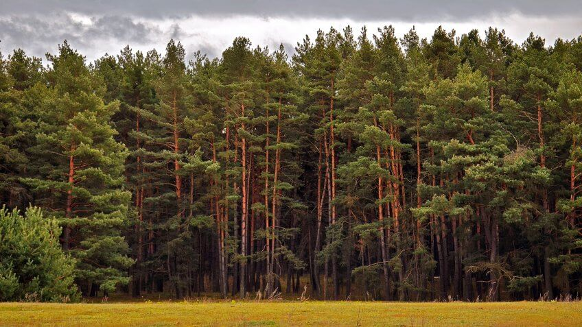 Pine tree forest - Image.