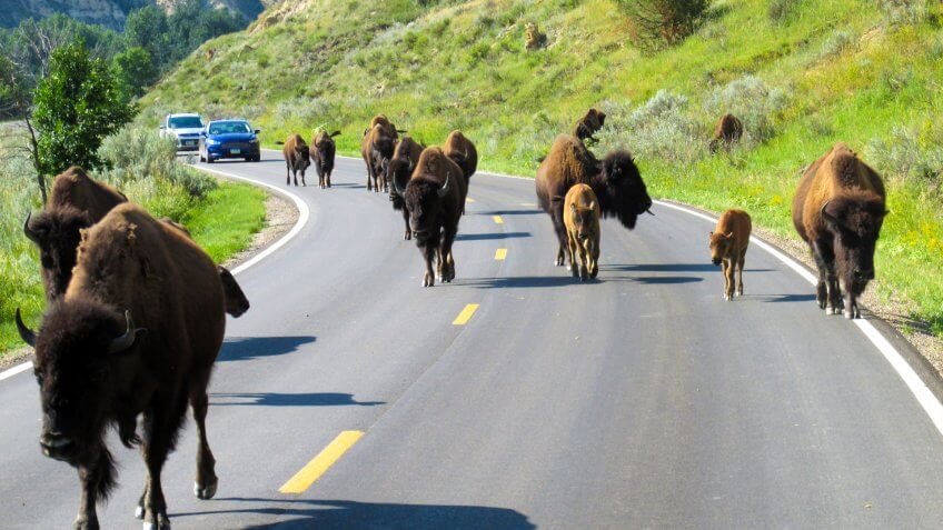 Buffalo herd crossing the road in Teddy Roosevelt National Park.