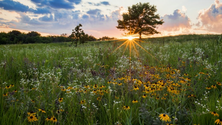 A prairie spectacular sunset with a sunburst beneath a tree that is highlighting a field of white and yellow prairie flowers.