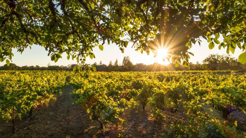 Wine grapes in Sonoma County, California.