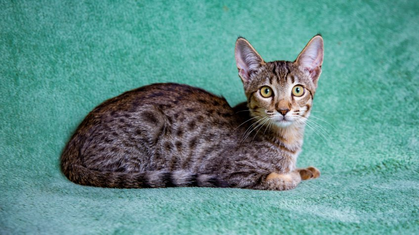 Savannah cat lying on a turquoise background - Image.