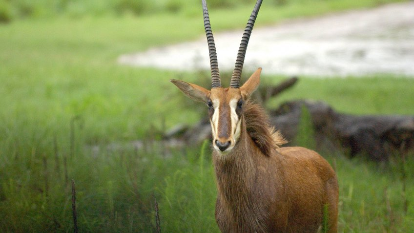 gazelle at Disney World Animal Kingdom