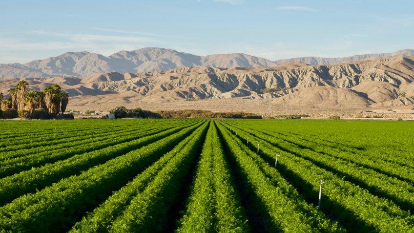 Carrot field in Indio Californian Desert in November.