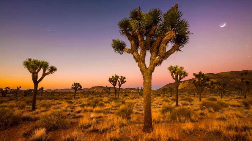 A grove of Joshua Trees being bathed in the soft glow of morning twilight in Joshua Tree National Park, CA.
