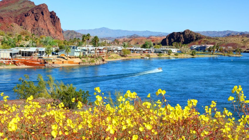Desert Wildflowers along the Colorado River near Lake Havasu City.