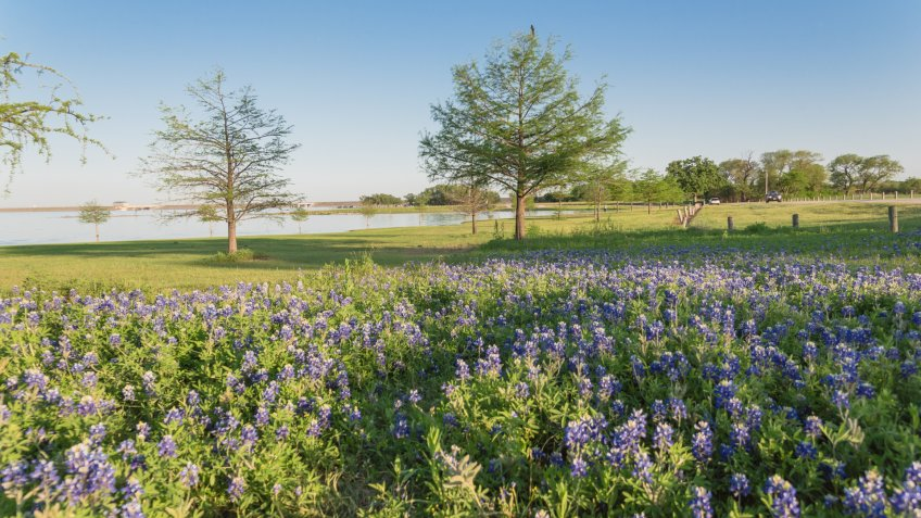 Bluebonnet blossom near lake park in Lewisville, Texas, USA.