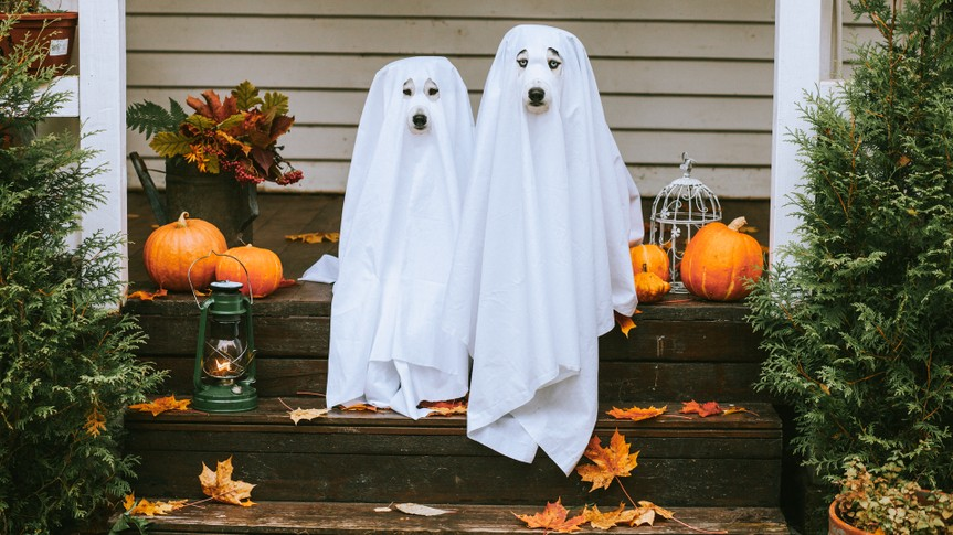 Domestic dogs dressed in ghost costume for Halloween.