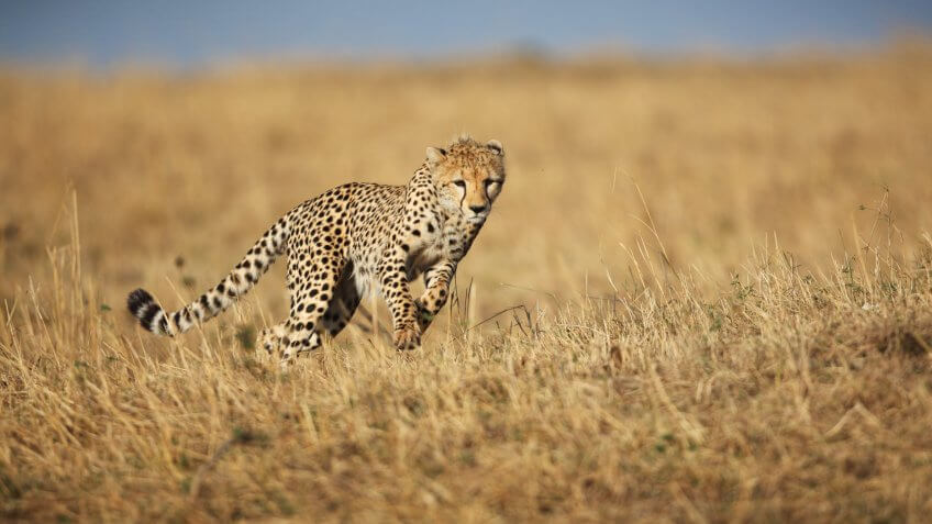 A wild Cheetah running across the savannah grassland of the Masai Mara, Kwenya.