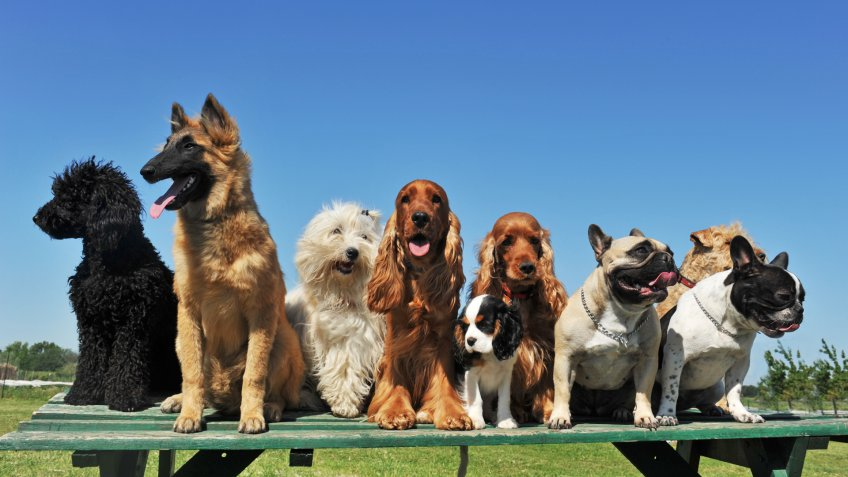 group of puppies purebred dogs on a table.