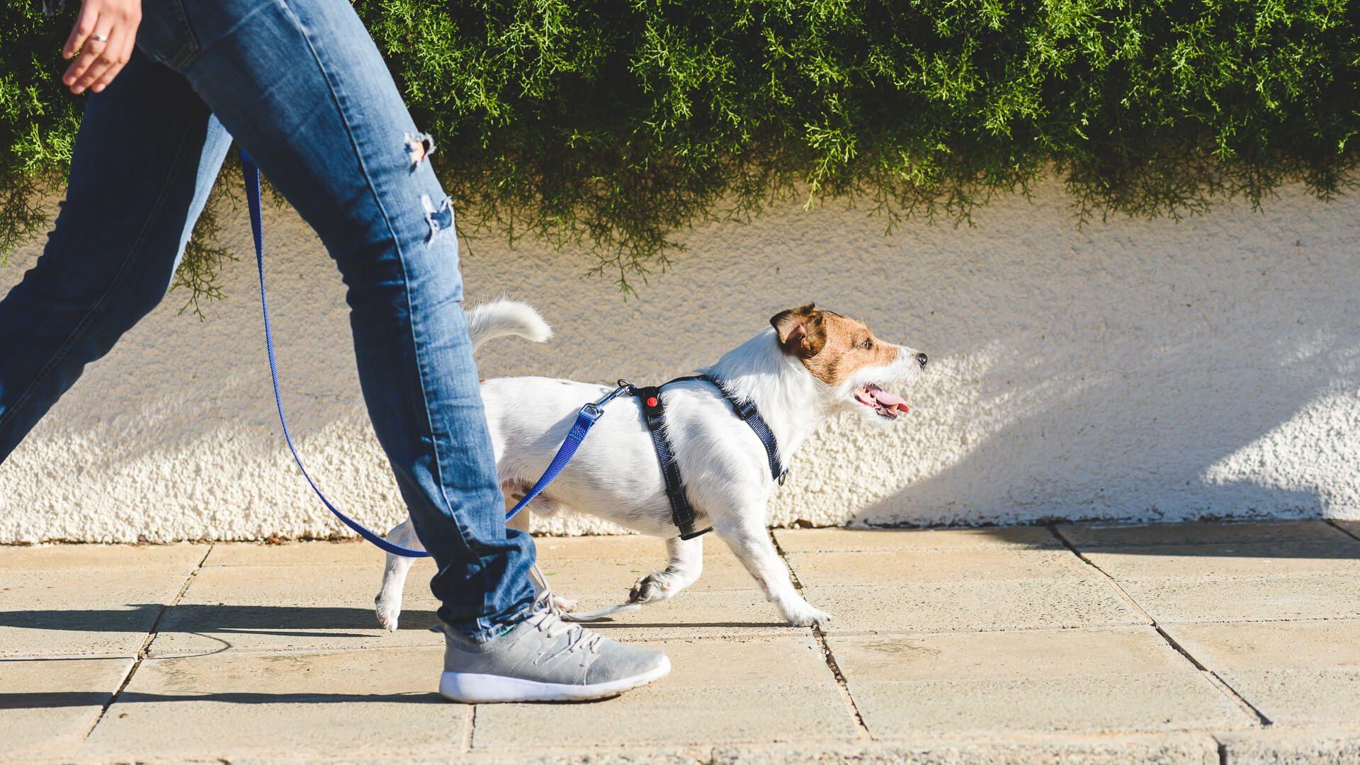 Jack Russell Terrier in harness walking on loose leash.