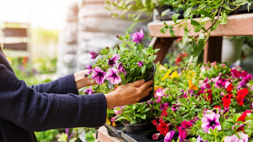 woman chooses petunia flowers at garden plant nursery store.