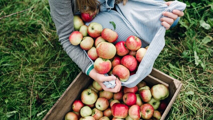 Portrait of a teenage girl, 13 years old, collecting apples from the orchard in her apron then pouring them into a wooden apple box.