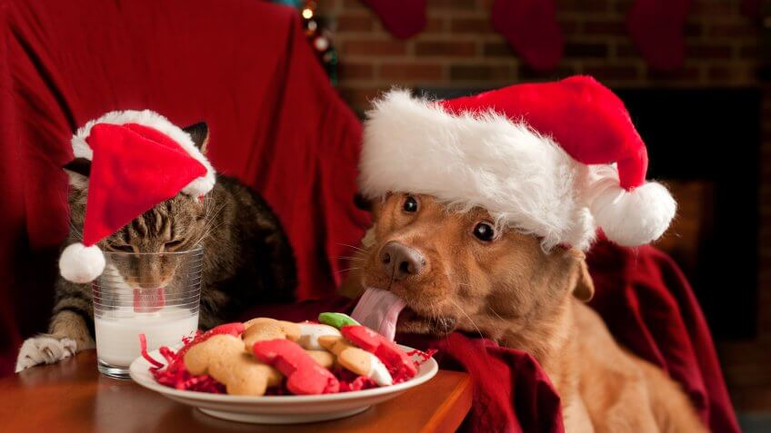 Misbehave pets eating and drinking Santa's snack.