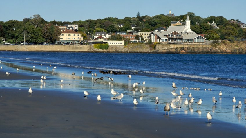 A flock of sea gulls scattered along lynn beach in lynn massachusetts, in the background is the town of swampscott - Image.