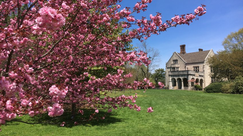 Bright pink cherry blossoms in full bloom by Coe Hall at the Planting Fields Arboretum State Park in Upper Brookville, Oyster Bay, Long Island, NY.