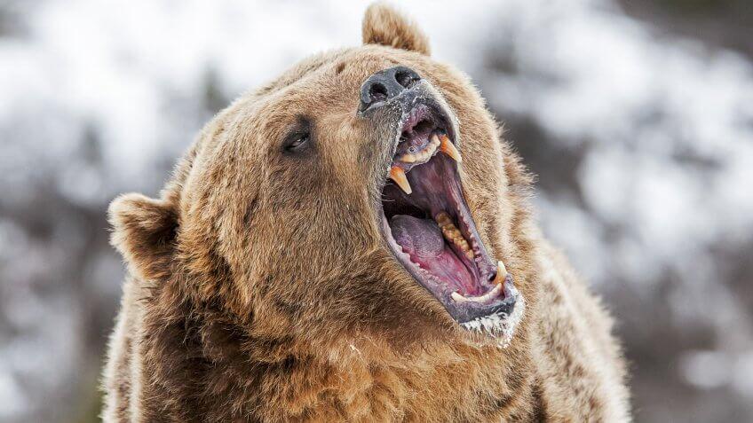 bear roaring in wilderness
