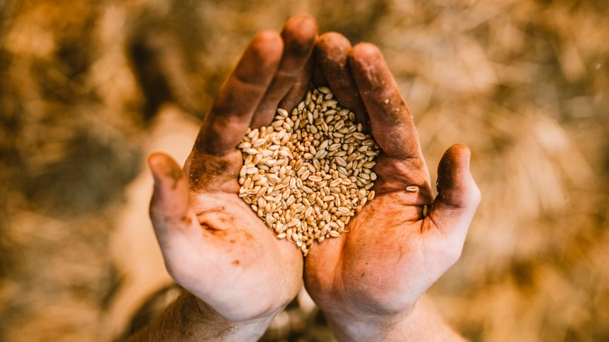 A handful of wheat berries in the hands of an agricultural worker, showing off the fruits of a hard days work.