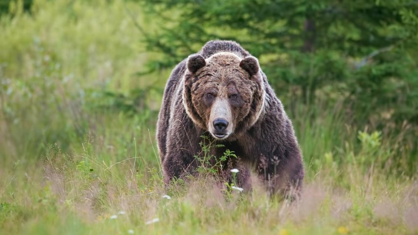 Massive aggressive male brown bear, ursus arctos, front view on summer meadow and forest in background.