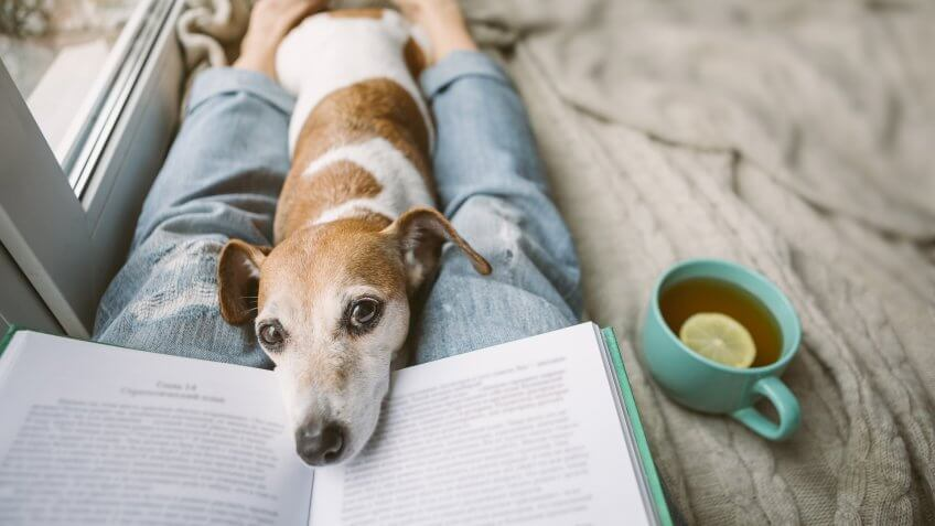 Reading at home with pet Jack Russell terrier.