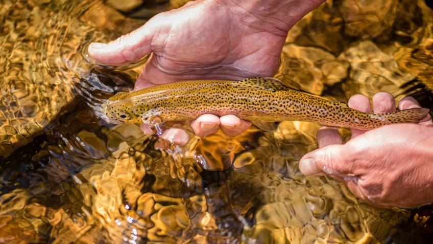 Close up of a wild brwon trout caught and released in the mountain stream in Northern Idaho.