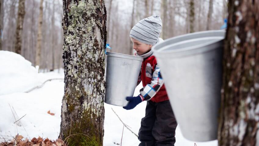 Maple Syrup industry time with little boy looking maple water in the bucketPhoto showing little girl looking maple water in the bucket for demonstration of the Local canadian industry of maple syrup in Quebec Canada.