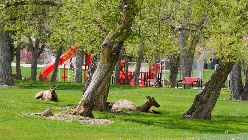 Wildlife elk resting in suburban Colorado at Arvada Volunteer Fire Fighters Park in Arvada Colorado.