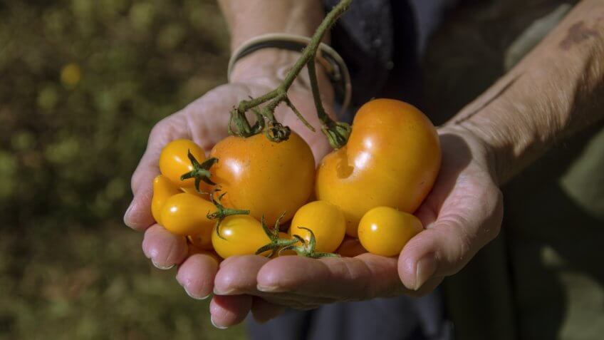 Yellow Tomatoes from the garden.