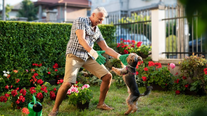 Senior adult working in front yard garden and playing with his dog.