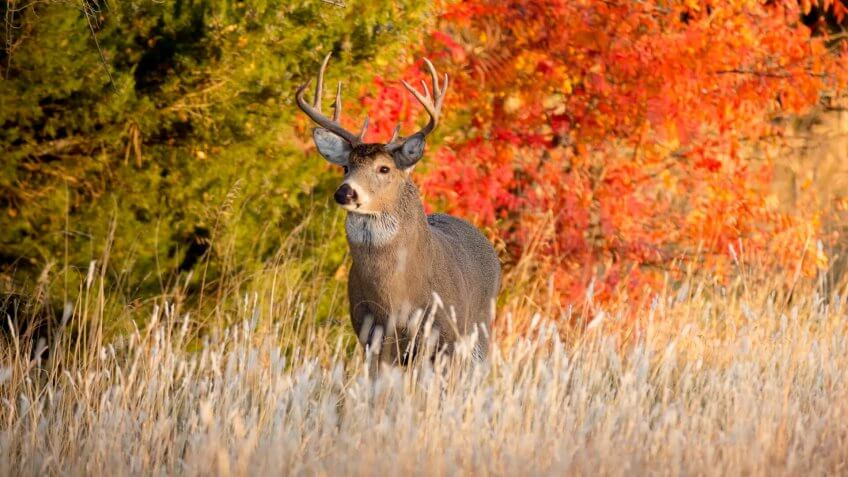 Powerful Male Whitetail Buck Searches For Female Deer During Fall Rutting Season In Kansas.