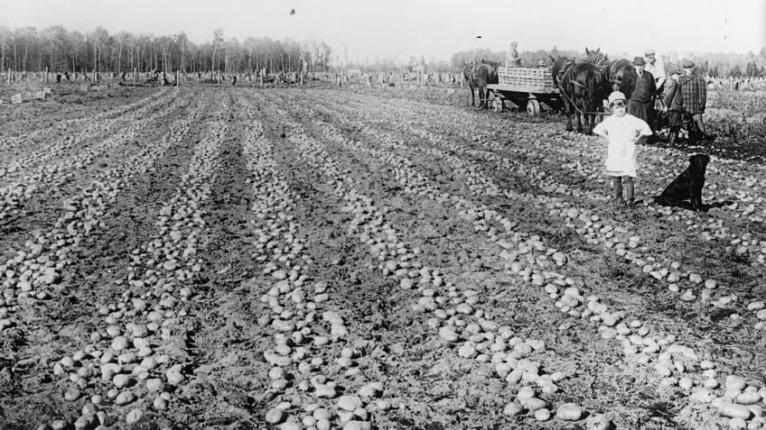 potato field in the U.S. in 1916-17