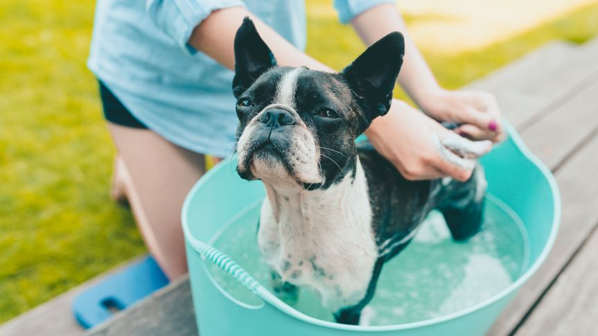 woman DIY cleaning her pet boston terrier dog