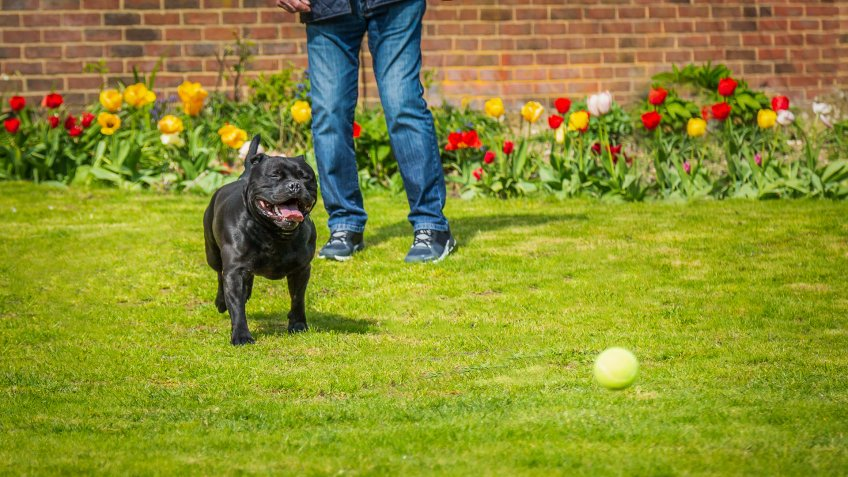 Black Staffordshire bull terrier dog running chasing after a tennis ball thrown by a man, on grass in a garden or back yard with tulips and a brick wall.