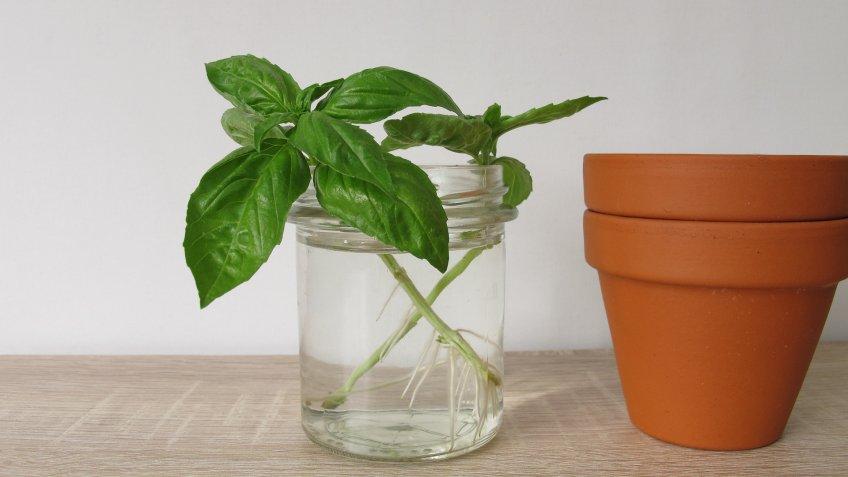 Regrow basil in a glass of water - Basilikum nachziehen im Wasserglas.
