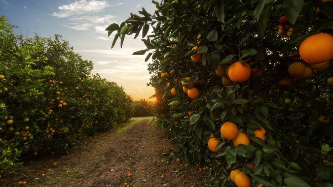 Orange tree plantation.