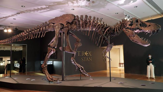 """Mandatory Credit: Photo by Andrew Schwartz/SIPA/Shutterstock (10786710x)The fossil remains of a Tyrannosaurus rex named """"Stan"""" is on display in a gallery at Christie's auction house on September 18, 2020 in New York City."""