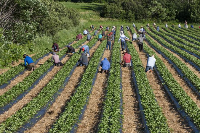 Île d'Orléans, Quebec, Canada - July 21, 2020: Migrant Mexican workers on six month visas working in strawberry field.