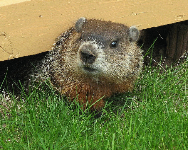 Groundhog day 2014 your savings could take a hit if phil sees his